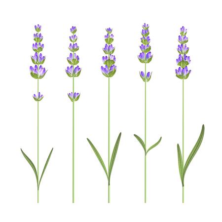 Ensemble d'éléments de fleurs de lavande. Ensemble d'illustration vectorielle. Banque d'images - 81410481