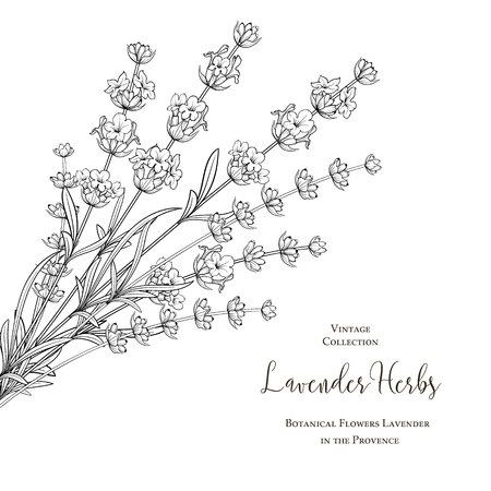 Summer flowers with calligraphy sign Lavender Herbs. Bunch of lavender flowers isolated over white background. Vector illustration.