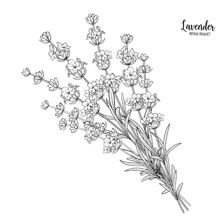 fragrant bouquet: Lavender flowers in closeup. Bunch of lavender flowers isolated over white background.