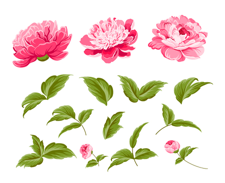 Set of peony flowers elements. Botanical illustration. Collection of peonies on a white background. Vector illustration bundle.