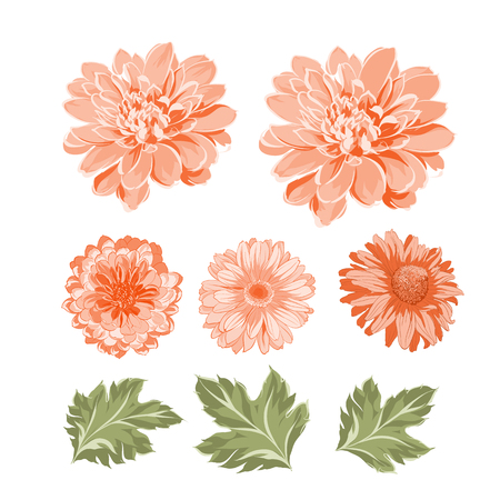 Set of chrysanthemum flowers elements. Botanical illustration. Collection of mum on a white background. Vector illustration bundle.