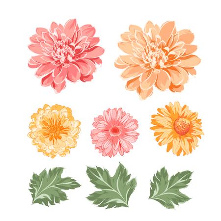 Set of chrysanthemum flowers elements. Botanical illustration. Collection of mum on a white background. Vector illustration bundle.