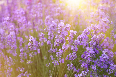 Flowers in the lavender fields in the Provence mountains. Lavender bushes closeup on evening light.