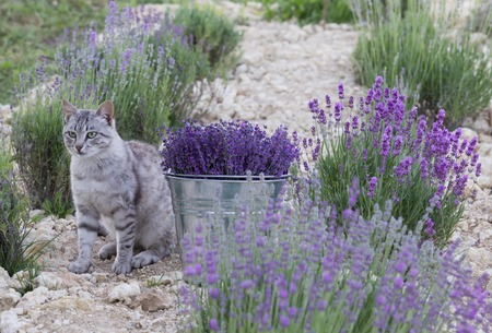 Wild cat is sitting in lavender field. Harvesting of lavender. Glittering metal bucket with aromatic flowers. Stock Photo