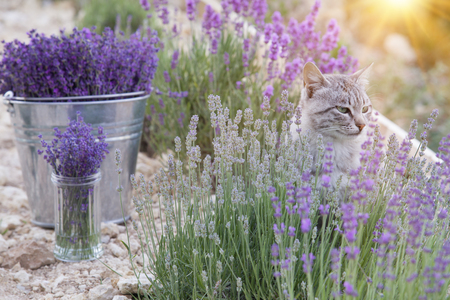 Wild cat is sitting in lavender field. Sunset lights over blooming lavander flowers. Stock Photo