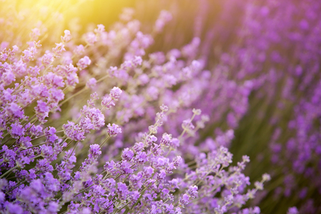 Lavender flower field, fresh purple aromatic flowers for the natural background.