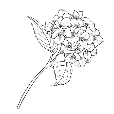 Blooming flower hydrangea on white background. Mop head hydrangea flower isolated against white. Beautiful flowers in style of engraving. Vector illustration. Stock Illustratie
