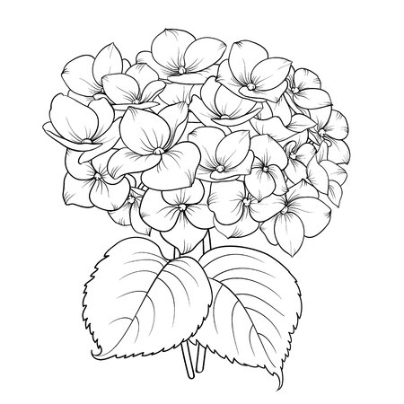 Blooming flower hydrangea on white background. Mop head hydrangea flower isolated against white. Beautiful flowers in style of engraving. Vector illustration. Vectores
