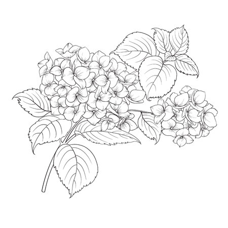 Blooming flower hydrangea on white background. Mop head hydrangea flower isolated against white. Stockfoto