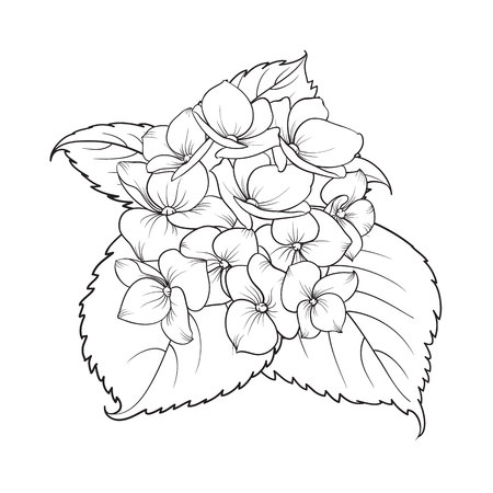 Blooming flower hydrangea on white background. Mop head hydrangea flower isolated against white. Beautiful flowers in style of engraving. Vector illustration. Stock Photo