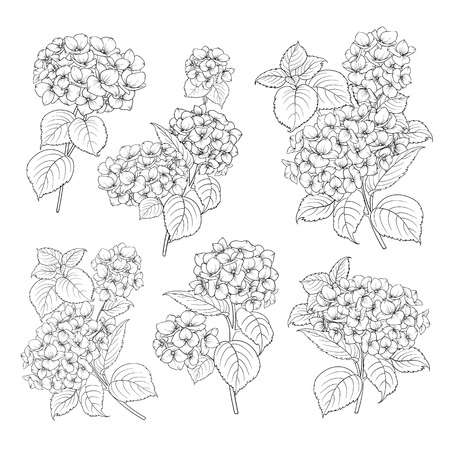 Black contour of hydrangea on white background. Mop head hydrangea flower isolated over white. Beautiful set of blooming flowers.Vector illustration. Stock Illustratie