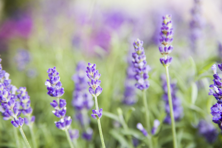 Charming Lavender Bushes Closeup On Evening Light. Purple Flowers Of Lavender.  Provence Region Of France Pictures