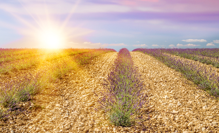 Lavender bushes composition on the Provence field. Sunset over purple flowers of lavender. Provence region of France. Stock Photo