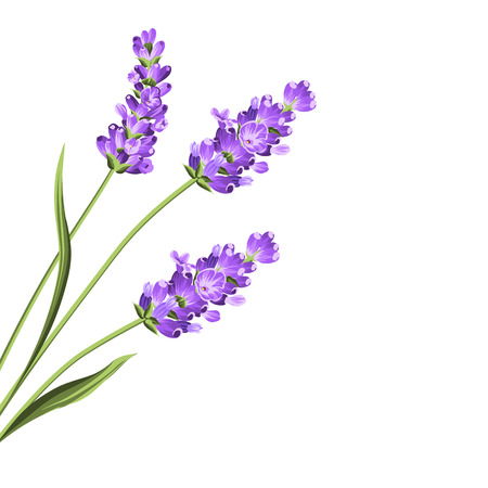 Lavender flowers in closeup. Bunch of lavender flowers isolated over white background. Vector illustration.