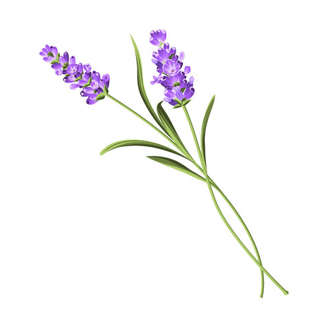 Lavender elegant card. Lavender flowers in closeup. Bunch of lavender flowers isolated over white background. Vector illustration.