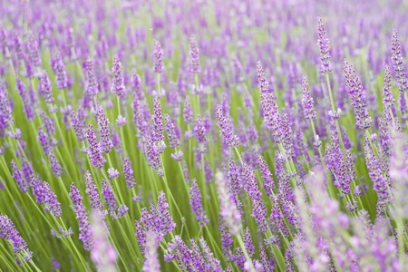 Sunset over purple flowers of lavender. Closeup of violet flowers. Provence region of france.