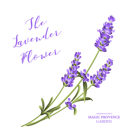 Bunch of lavender flowers on a white background. Vector illustration.