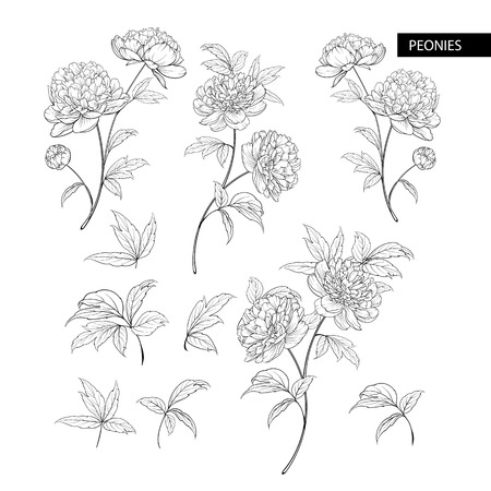 Ensemble d'éléments de fleurs de pivoine. Illustration botanique. Collection de pivoines sur fond blanc. Bundle d'illustration vectorielle. Vecteurs