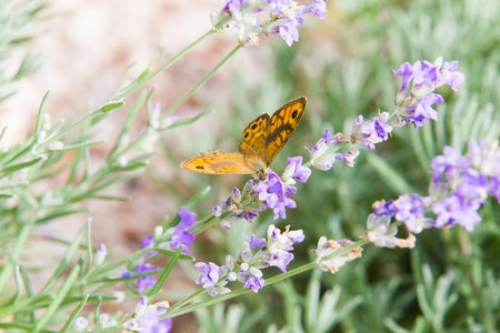 Beautiful orange butterfly over the violet Lavender flowers. Close-up of flower field background. Design template for lifestyle illustration. Stock Photo