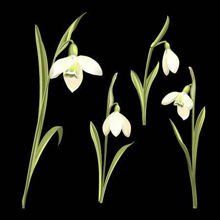 Spring set of snowdrop flowers on a black background. Botanical illustration of the spring bouquet of Galanthus flowers. Vector botanical illustration. Illusztráció