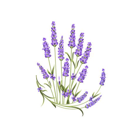 Bunch of lavender flowers on a white background. Label with lavender flowers. Vector illustration. Illustration