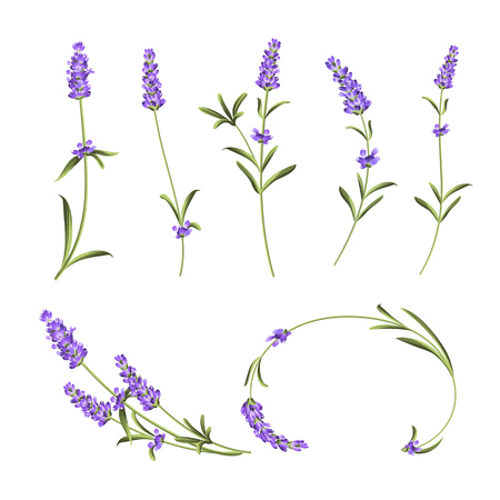 Collezione di fiori della Provenza. Insieme di elementi di fiori di lavanda. Kit fiori viola. Pacchetto di stampe estive alla moda. Elementi per la carta di invito e il design del modello. Illustrazione vettoriale.