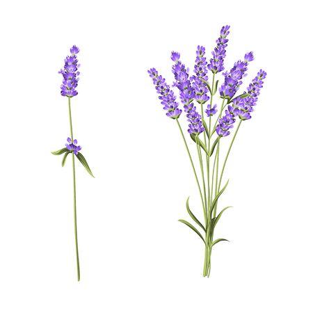 Summer flowers bunch of lavender flowers isolated over white background. Vector illustration. Ilustração