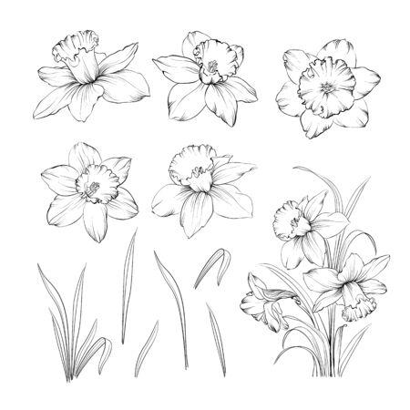 Set di narcisi di disegno a tratteggio. Fascio di fiori di narcisi. Fiori neri isolati su bianco. Collezione di contorni di fiori. Illustrazione vettoriale. Vettoriali