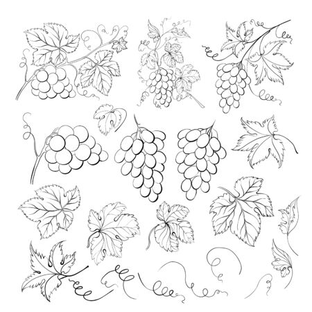 Grape bunch collection. Elements of grapes isolated on white background. Botanical elements isolated against white. Vector scketch illustration.