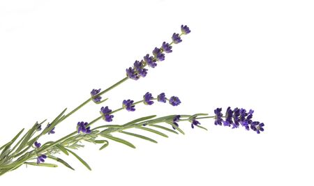 Lavender flowers in closeup. Bunch of lavender flowers isolated over white background. Awesome top view with purple lavender flowers close-up isolated on white background.