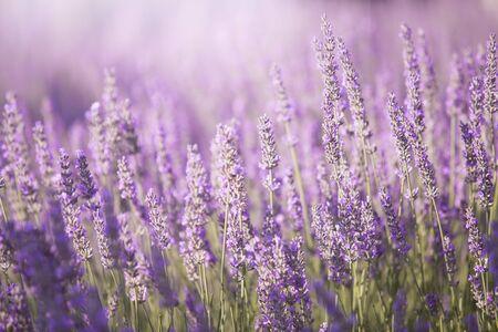 Sunset over lavender bushes. Foto de archivo
