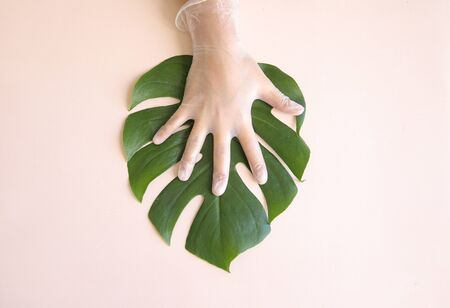 Clean Human hand in a medical glove touching green tropical monstera leaf. Stock Photo