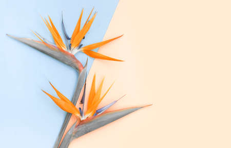 Top view of flatlay with orange strelizia on color paper. Diagonal line of green and pink colors