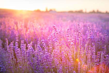 Blooming violet lavender field on sunset sky.