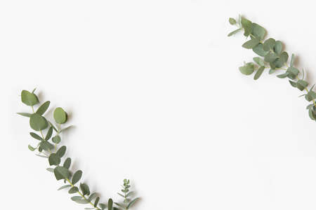 Green leaves of eucalyptus branches on a white background. 免版税图像