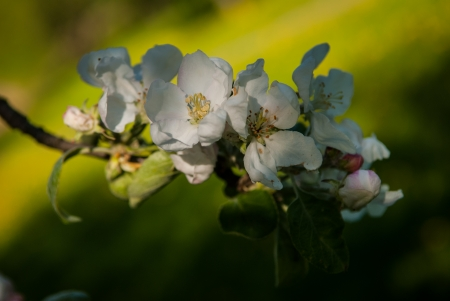glower: Apple trees blossom in the spring in Minsk, Belorussia