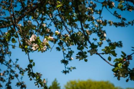 glower: Apple trees blossom in the spring in Minsk, Belorussia