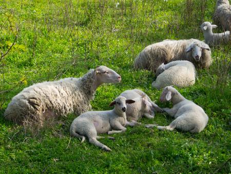 White sheeps in field in Selcuk, Izmir, Turkey