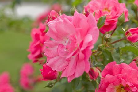 Flowering pink roses and their buds Reklamní fotografie