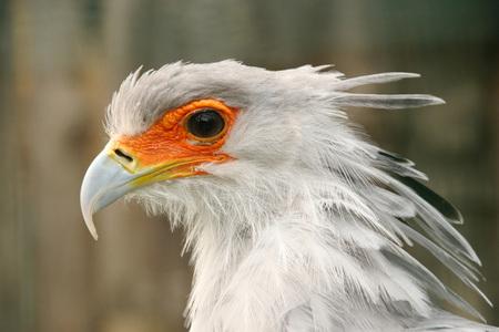 Profile portrait of secretary bird. Significant orange area around eye.