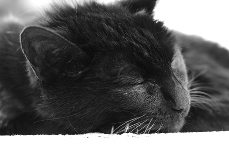Black-and-white photo of sleeping cat. Stock Photo