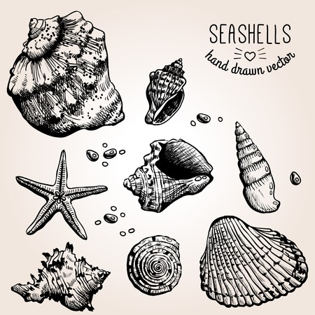 cockle: Hand drawn collection of various seashell illustrations. Vector.