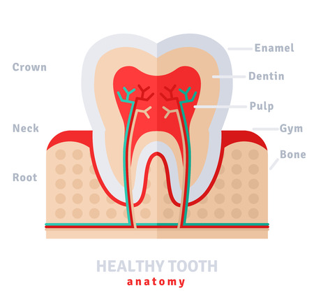 enamel: Healthy white tooth anatomy flat icon concept. Vector illustration. Pulp and nerves, strong enamel,  gums and bone.