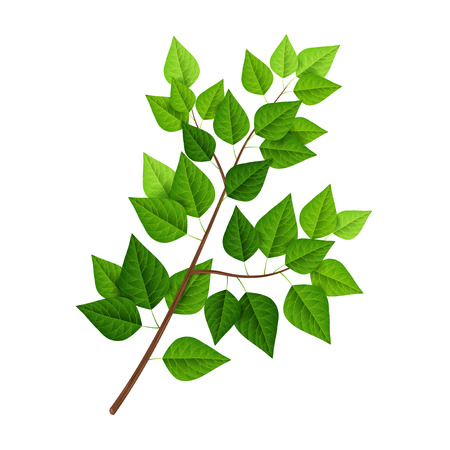 branch isolated: Tree branch with green leaves isolated on white Illustration