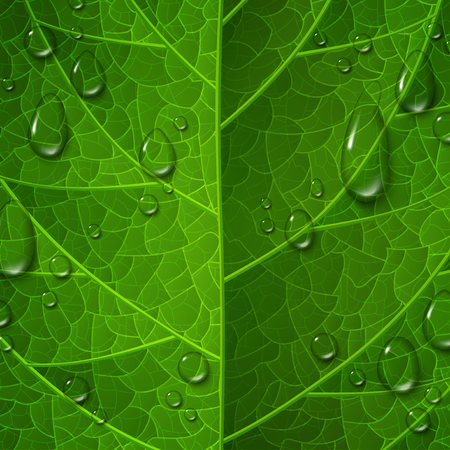 dewy: Macro view of green leaf surface with water drops