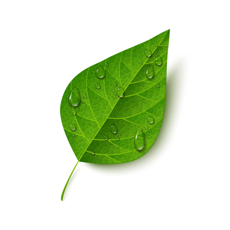 wet leaf: Green leaf with water drops isolated on white