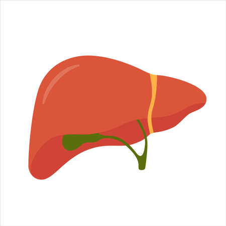 Human liver and gallbladder. Isolated vector illustration in flat style on white background
