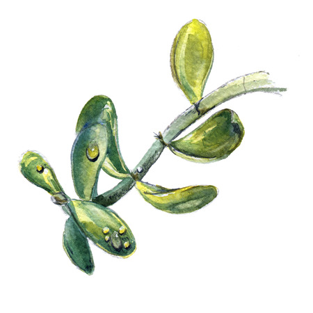 floriculture: Branch of jade plant, money tree. Watercolor painting of stem with leaves Stock Photo