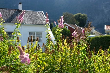 White house on Norway country with bush of Buddleja pink flowers and green leaves. Sunny day outdoor idyllic scene.