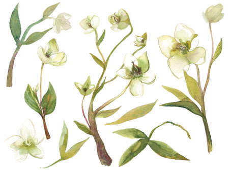 Hellebore flowers watercolor set of illustrations. Hand painted heleborus isoalted on white background for invitations and surface design.